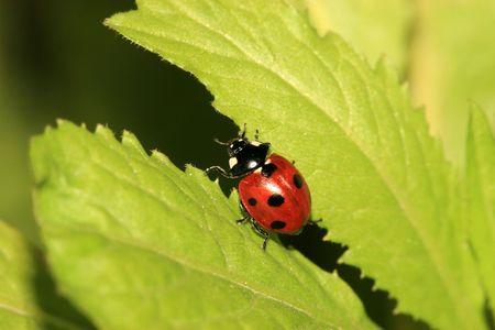 beneficial insect: ladybug Stock Photo