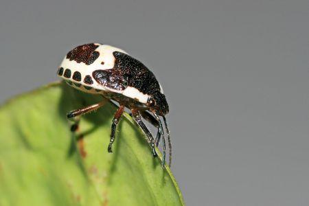 pentatomidae: stinkbug Stock Photo