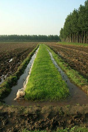 rice seedbed photo