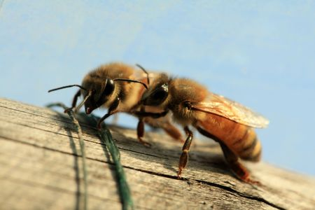 photographies: bees