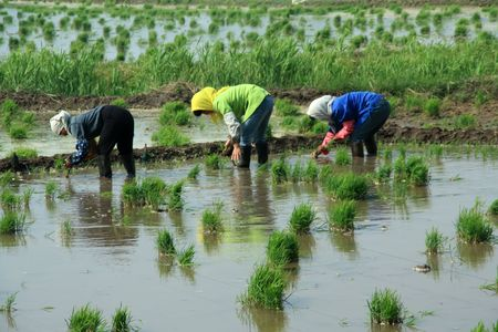 rice seedlings in the field photo