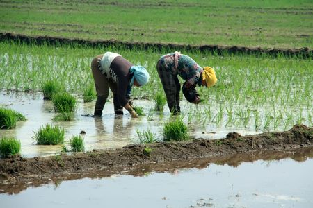 rice seedlings in the field Stock Photo