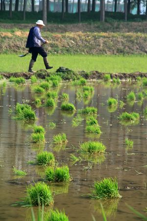 rice seedbed field crops plant photo