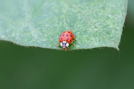 beneficial insect: a kind of insects ladybug Stock Photo