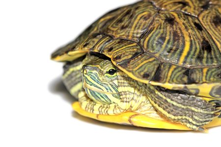 a red-eared turtle isolated in white background photo