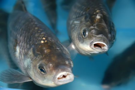 north china: carp, a kind of freshwater, north china Stock Photo