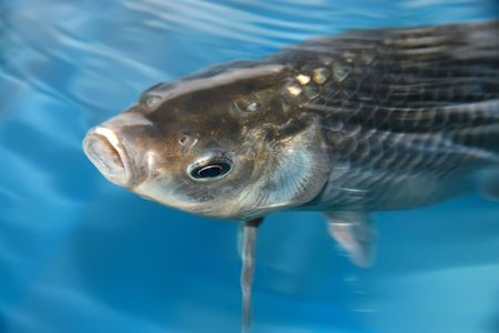 aquatic products: carp, a kind of freshwater, north china Stock Photo