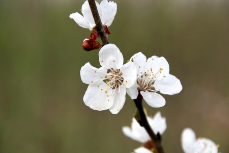 principal: close up of pear flowers, flowers open in early spring, background is fuzzy nominal, so the principal part is outstanding.