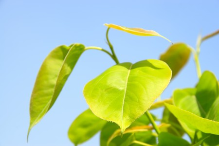 is thriving: close up of pear leaves under the blue sky, in northern china, growing in early spring, gives the impression of a thriving.  Stock Photo