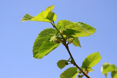 is thriving: close up of mulberry twigs under the blue sky, in northern china, growing in early spring, gives the impression of a thriving.