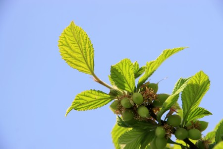 is thriving: close up of cherry branches under the blue sky, in northern china, growing in early spring, gives the impression of a thriving.  Stock Photo