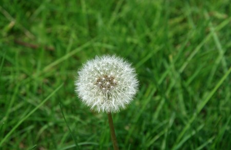 chinese medicine: dandelion seed growing in early spring, gives the impression of a thriving. Stock Photo