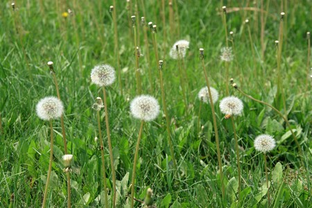 thriving: dandelion seed growing in early spring, gives the impression of a thriving. Stock Photo