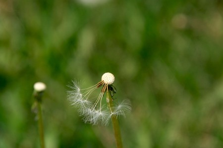 seed growing: dandelion seed growing in early spring, gives the impression of a thriving. Stock Photo