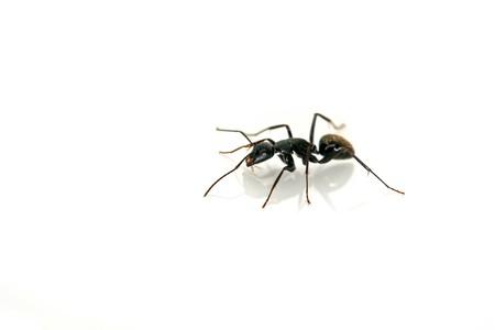 a kind of ants named camponotus japonicus Banco de Imagens - 7047695