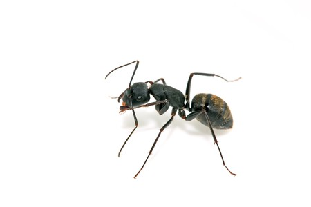 formicidae: a kind of ants named camponotus japonicus