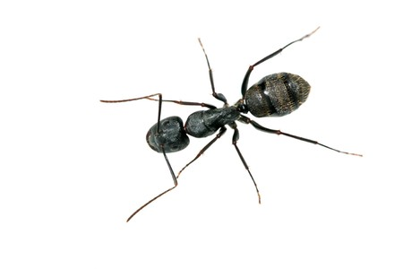 a kind of ants named camponotus japonicus Banco de Imagens - 7047725