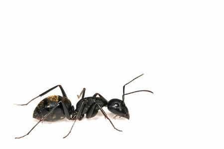 Eine Art von Ameisen namens Camponotus japonicus  Standard-Bild - 7047707