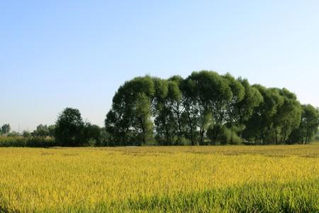 paisaje de arroz en el norte rural de china. Foto de archivo - 7095914