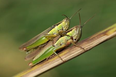 langosta: una especie de insectos orthoptera llamado oxya langostas, son el apareamiento.