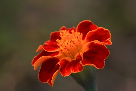 closeup of marigold flowers, north china. Stock Photo - 7114579