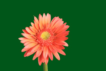 close up of gerbera flowers on a simple color background. Stock Photo - 7132642