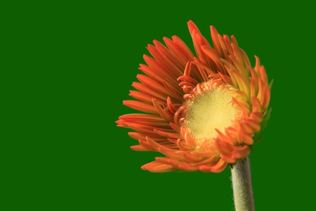 close up of gerbera flowers on a simple color background. Stock Photo - 7132647