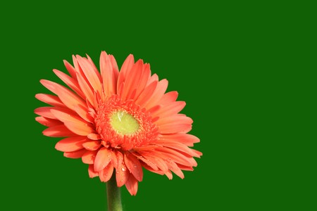 close up of gerbera flowers on a simple color background. Stock Photo - 7132644