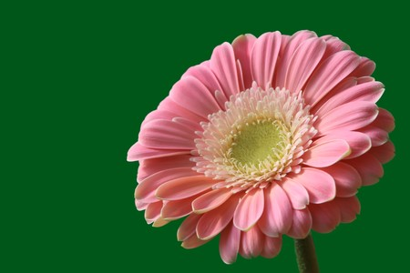 close up of gerbera flowers on a simple color background. Stock Photo - 7132669
