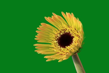close up of gerbera flowers on a simple color background. Stock Photo - 7132648