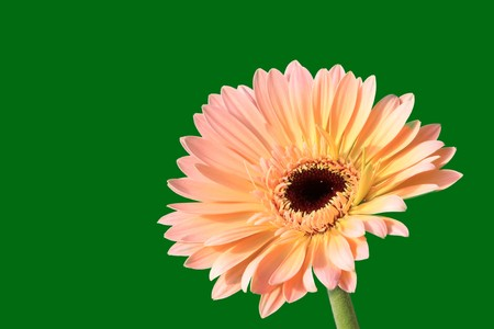 close up of gerbera flowers on a simple color background. Stock Photo - 7132666