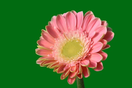 close up of gerbera flowers on a simple color background. Stock Photo - 7132694