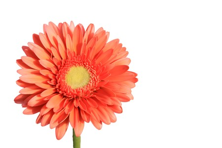 close up of gerbera flowers on a simple color background. Stock Photo - 7132652