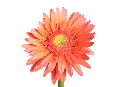 close up of gerbera flowers on a simple color background. Stock Photo - 7132650