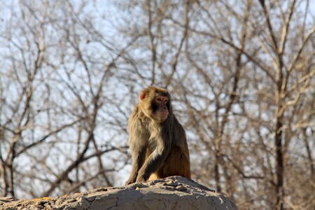 monkey, close up of picture, in winter, Qinhuangdao City, Hebei Province, China. Stock Photo - 7132960