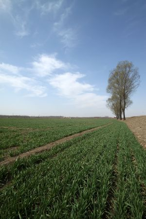 trees beside the wheat fields, under the blue sky, beautiful natural scenery, Luannan County, Hebei Province, China. photo