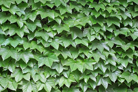ivy leaves vertical greening, close up of pictures, Luannan County, Hebei Province, China. photo