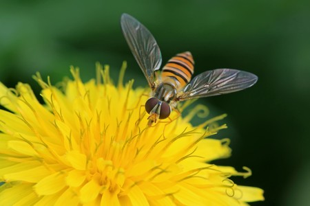 popular science: a kind of insects named syrphidae, it is collecting nectar on a dandelion flowers  , nature photographer pictures.
