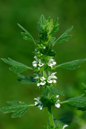 ridge: close up of wild motherwort, was born in mountain wilderness, ridge, lawn, etc, growing in early spring, summer flowering, can be used as herbal medicines..