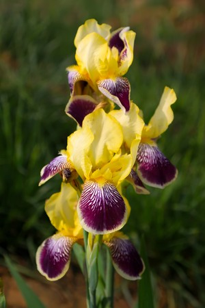 wild iris flowers in the fields, was born in mountain wilderness, ridge, lawn, etc, growing in early spring, summer flowering, can be used as herbal medicines.. photo