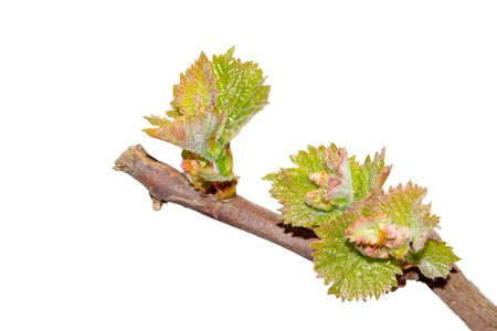 grape seedlings on a white background, close up of pictures. photo