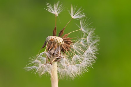 blown: dandelion seeds being blown away, leaving only a small part, alone, the picture is very creative.