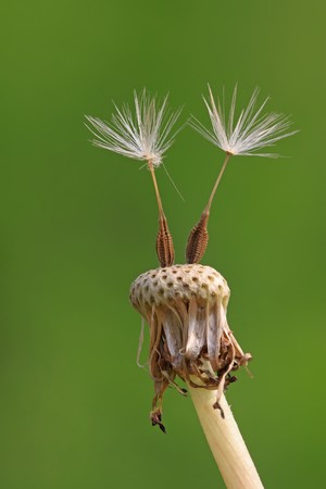 dandelion seeds being blown away, leaving only a small part, alone, the picture is very creative.