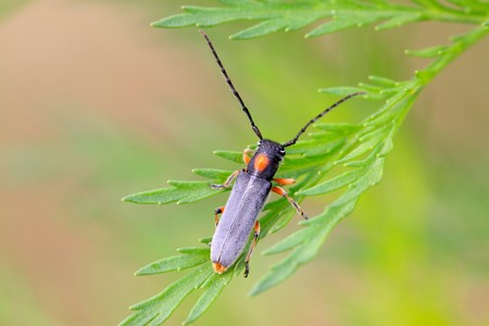 chew: a kind of coleoptera cerambycidae insects, this insect with large pigtail, red spots on the back of the neck, is a pest. Luannan County, Hebei Province, China.