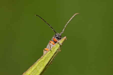 cerambycidae: a kind of coleoptera cerambycidae insects, this insect with large pigtail, red spots on the back of the neck, is a pest. Luannan County, Hebei Province, China.