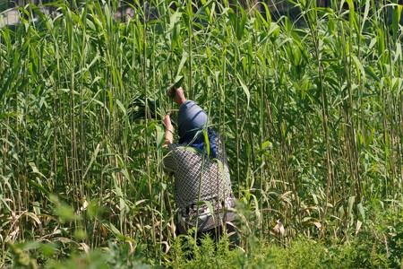 plucking: a women plucking ashiba, Luannan County, Hebei Province, China. Stock Photo