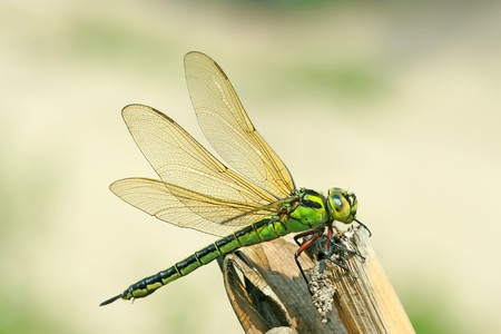 latent: close up of dragonflies in wild Stock Photo