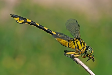taxonomy: close up of dragonflies in wild Stock Photo