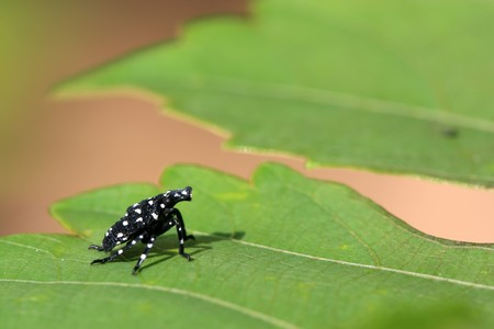 entomological: close up of fulgoroidea insects on the green leaf, take photos in the wild natural state, can serve as a specimen entomological research, Tangshan City, Hebei Province, China.