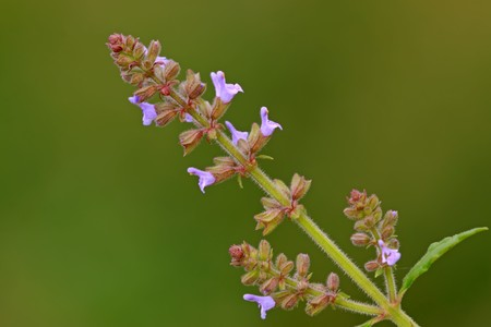 labiatae flowers motherwort on a green background, can be used as species of medicinal herbs, can treat disease, taken photos in the wild natural state, Luannan County, Hebei Province, China. photo